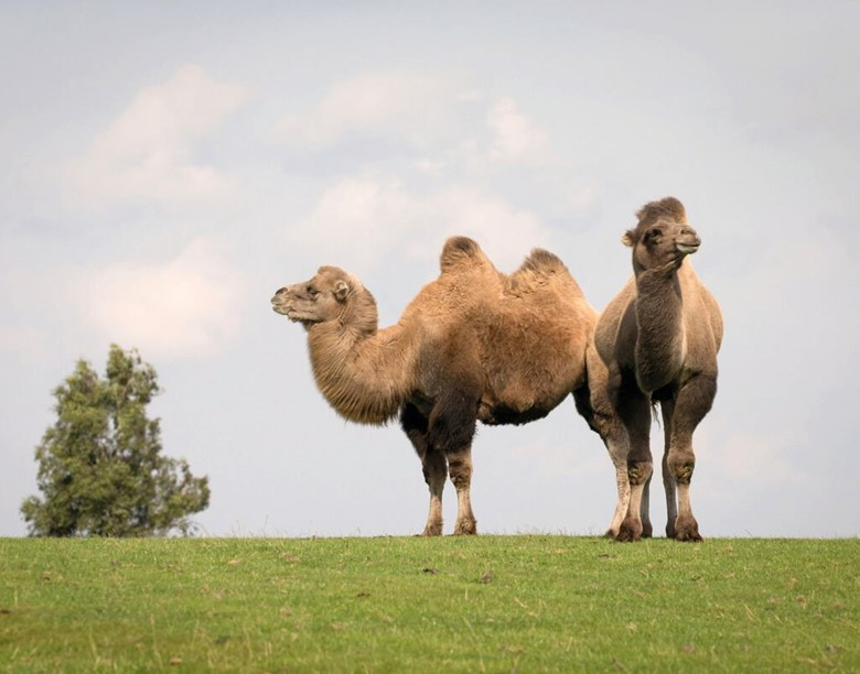 Two camels standing next to each other