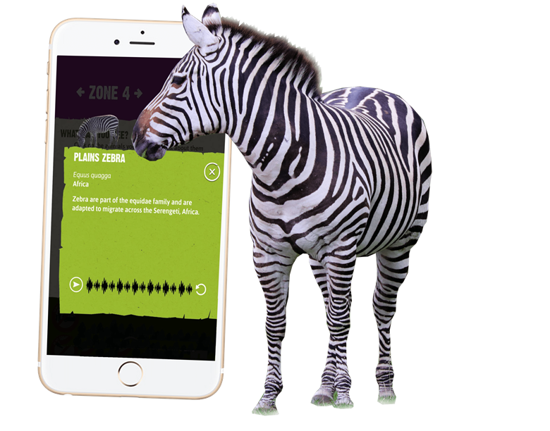 Knowsley Safari App phone and zebra