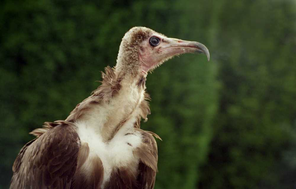hooded_vulture2.jpg