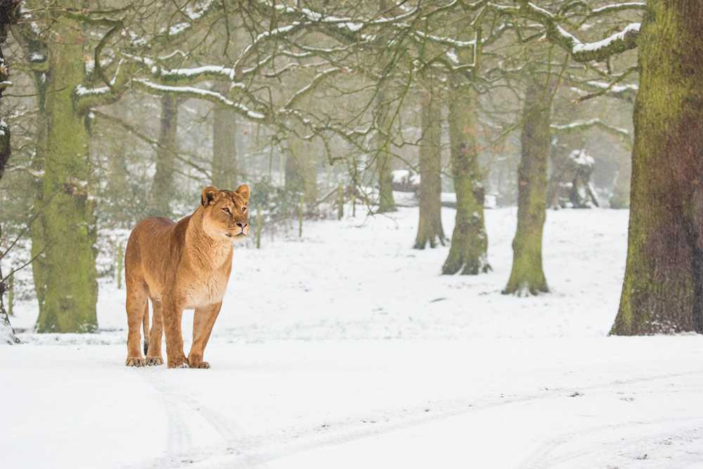 lion in snow.jpg