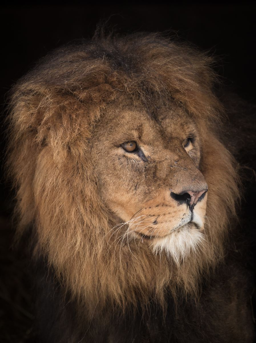 Portrait of an adult male African Lion