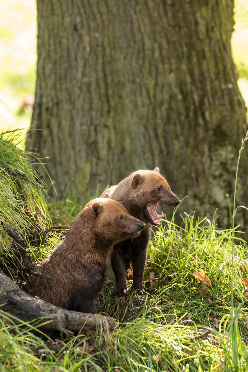 Two bush dogs overlooking their den