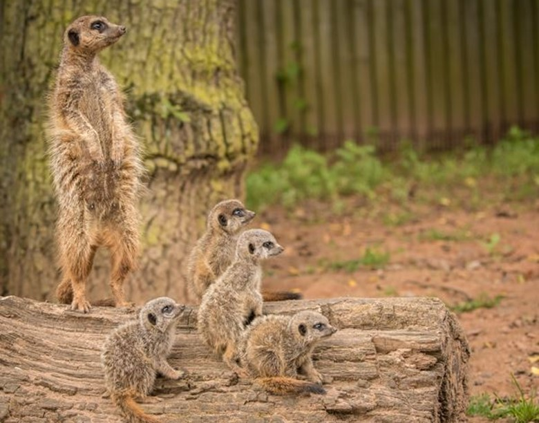 A meerkat mob on a log