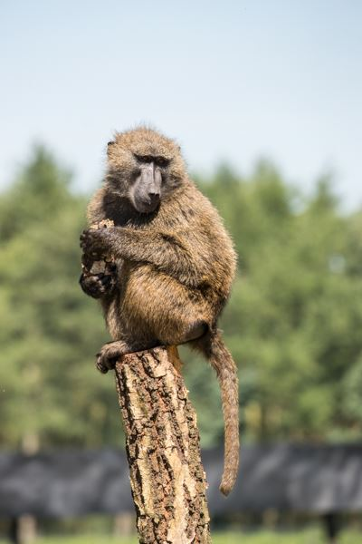 Baboon standing on a tree holding food