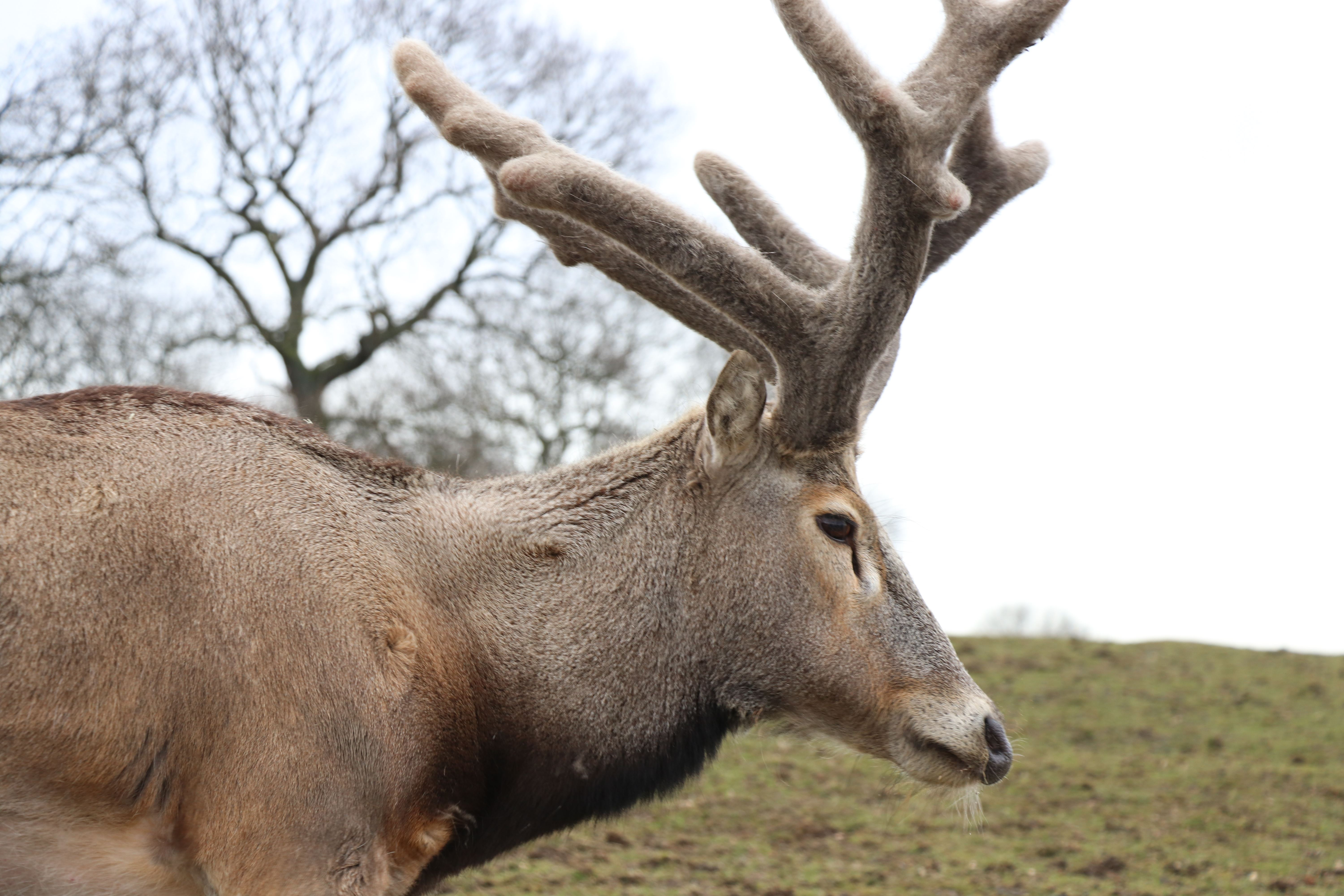 Adult Male Pere David's Deer