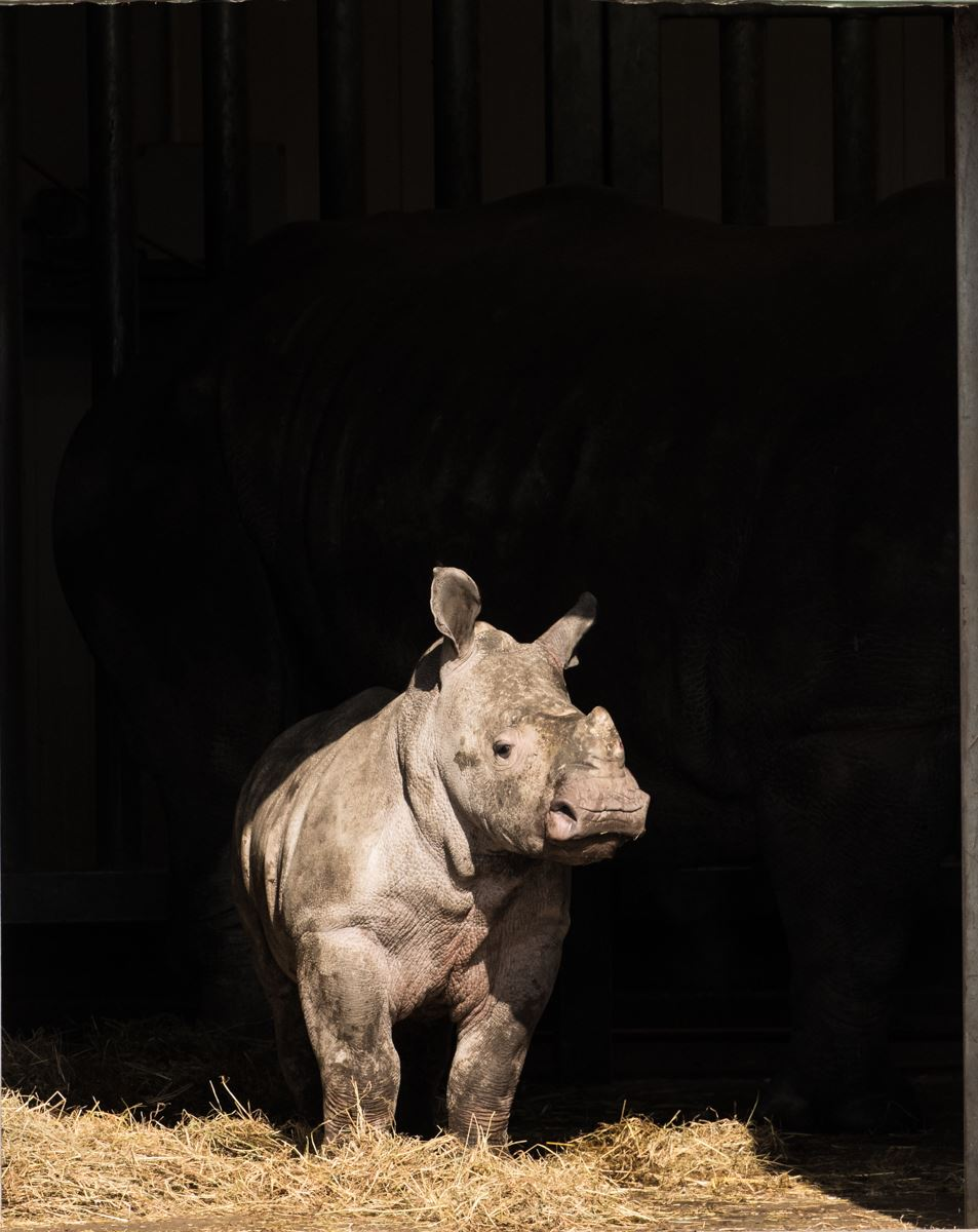 Juvenile Rhino looking out of their shelter