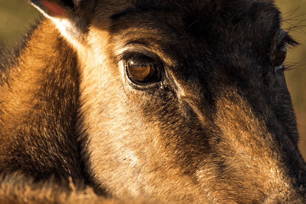 Nilgai Eye.png