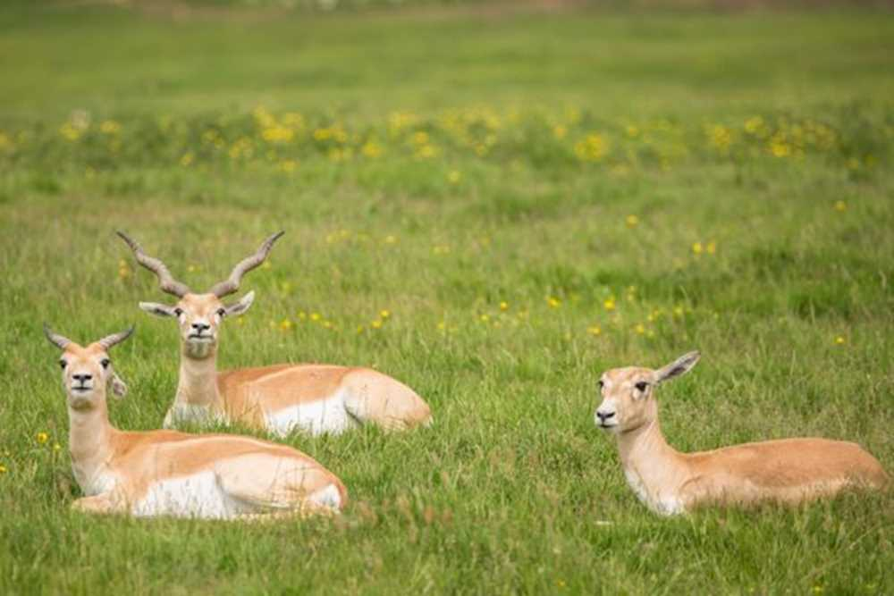 js1-blackbuck-ksp-june16-07062016-9788.jpg