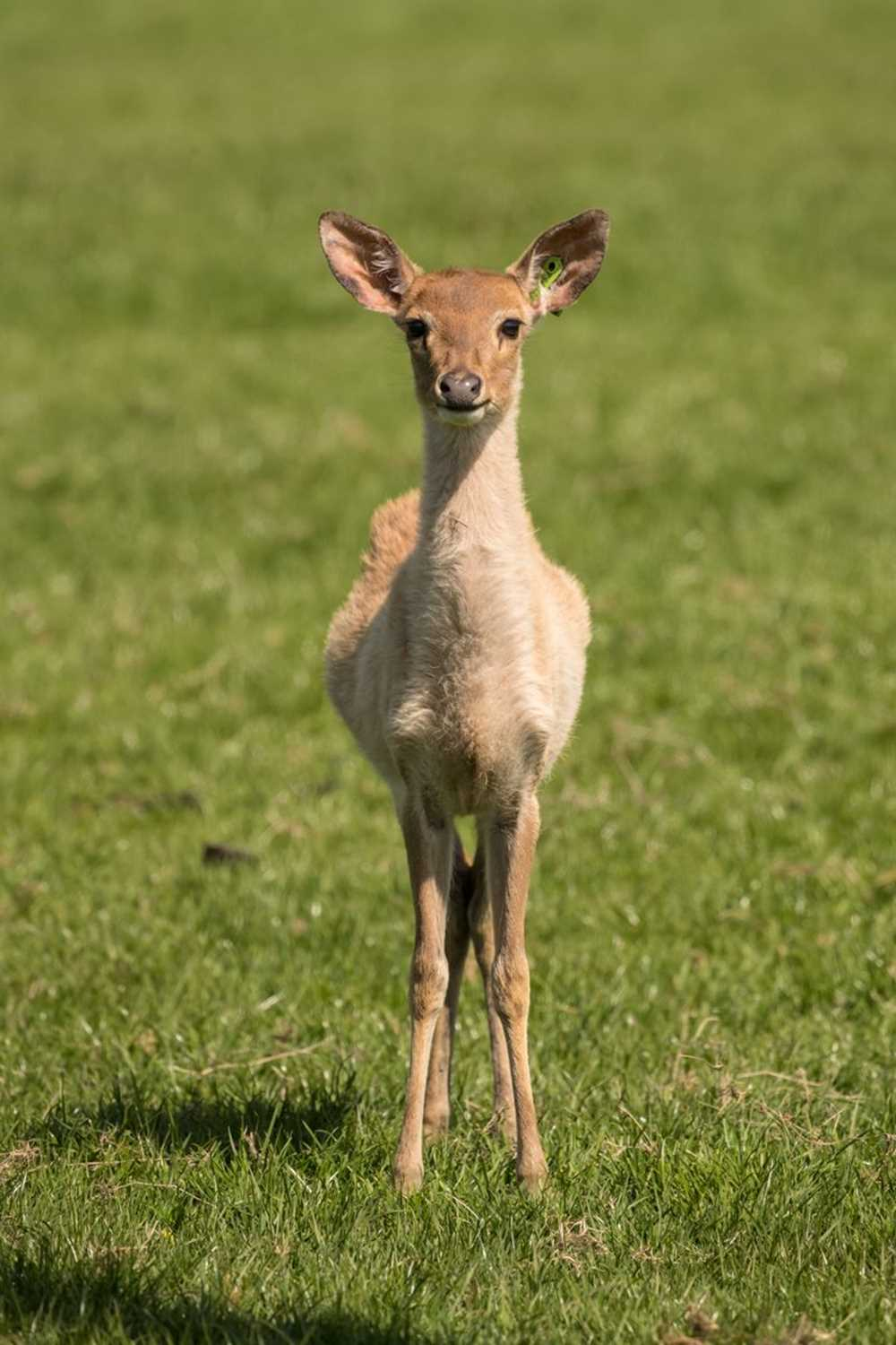 js1-browantlerdeer-ksp-may17-2171.jpg