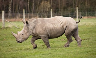 The largest crash of rhino in the UK