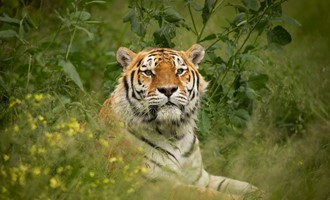 Brand New Tiger at Knowsley Safari
