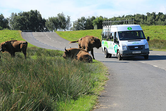 Bisons roaming near a Knowsley Safari Bus